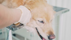 The doctor-vet inspects a dog using a pulse oximeter Stock Footage