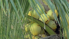 Coconuts on palm tree Stock Footage