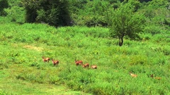 Slow motion aerial video of wild deer running in national park Yala in Sri Lanka Stock Footage