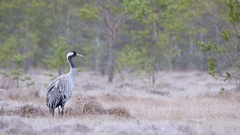 Common Crane. Frosty morning in the swamp. Stock Footage