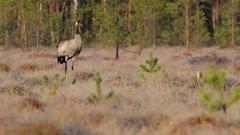 Common Crane. Feeding on the raised bog. Morning. Rime. Stock Footage