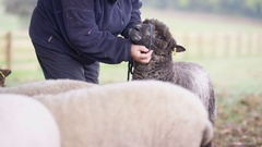 4K Unrecognizable farmer taking care of sheep in the field Stock Footage