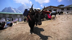 View of yaks with load in Dughla village. Himalaya, Nepal Stock Footage