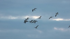 Geese, Snow Geese, Birds, Flying Stock Footage