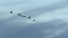 Cranes, Sandhill Cranes, Birds, Fly, Flight, Flying Stock Footage