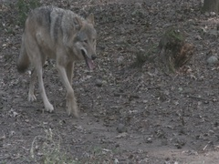 Gray Wolves (Canis lupus) walking and meets in the forest. Stock Footage