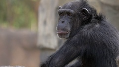 Chimpanzee in the zoo Stock Footage