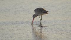 A sandpiper bird at sunset on the beach. Stock Footage