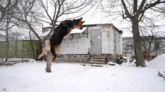 German Shepherd Dog is playing jumping over snow Stock Footage