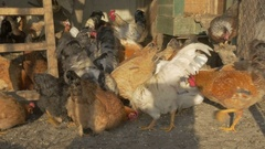 Mass scene of roosters and hens while they feeding in the cage by Pakito. Stock Footage