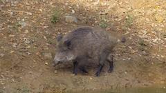Wild boar (Sus scrofa) Stock Footage
