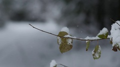 Closeup of a snow-capped branch with leaves in winter forest, 4k shot Stock Footage