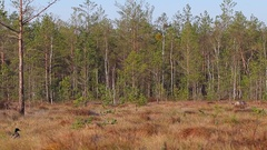 Common Crane. Feeding on the raised bog. Stock Footage