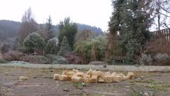 Feeding jays with bread in garden Stock Footage
