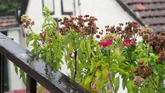Flowers on the balcony in the rain. The old wooden ladder and flowers on a Stock Footage