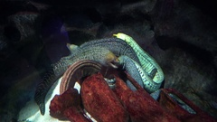 Two evil morays swimming in the aquarium Stock Footage