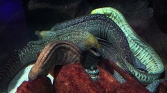 Two creepy morays swimming in the aquarium Stock Footage