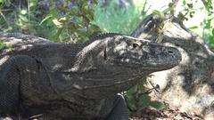 4k Komodo dragon very close up head resting under tree on Rinca island Stock Footage