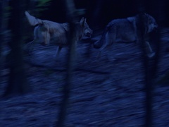 Two Grey wolves (Canis lupus) running and fighting at night. Stock Footage
