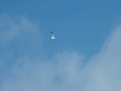 Seagull Bird flying at blue sky alone Nature harmony concept Travel scenery Stock Footage