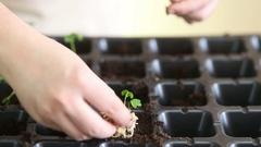 Gardener mulching celeriac seedlings after transplanting Stock Footage