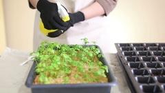 Gardener waters celeriac seedlings before transplanting into individual pots Stock Footage