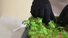 Gardener going to transplant celeriac seedlings into individual pots Stock Footage