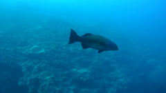 Coral Cod or Spotted coral grouper (Plectropomus maculatus)   Stock Footage