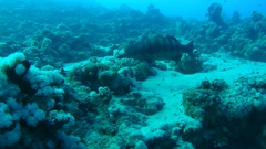 Coral Cod (Plectropomus maculatus) swimming slowly over the sandy bottom  Stock Footage