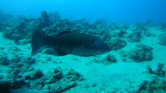 Coral Cod (Plectropomus maculatus) swimming over a sandy bottom, Red sea  Stock Footage