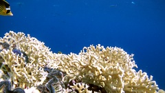 A pair of Striped fish butterfly (Chaetodon fasciatus) swims over coral Stock Footage