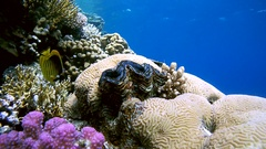 Striped fish butterfly (Chaetodon fasciatus) swims over the maxima clam   Stock Footage