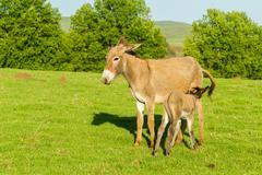 Donkey Newborn Ass Feeding Farm Stock Photos