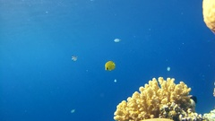 Pair Threadfin Butterflyfish (Chaetodon auriga) and pair Masked butterfly Stock Footage