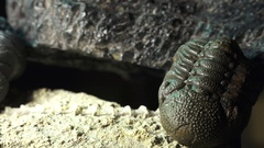 Close up, Prehistoric life forms trilobites and phacops and trilobites Stock Footage