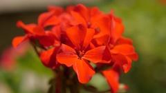 Garden red Geranium tiny flower blossom on the sun Stock Footage