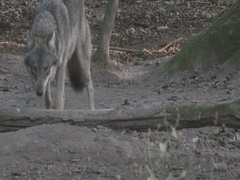 Gray Wolves (Canis lupus) walking in the forest. Stock Footage