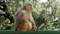 Rhesus macaque. Shimla, Himachal Pradesh, India Stock Footage