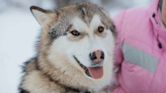 Malamute Dog and Her Mistress Stock Footage