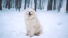 White Samoyed dog in winter Stock Footage