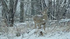 Dear in Snow (120fps) Stock Footage
