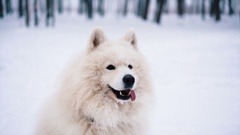 Funny White Samoyed dog play on snow Stock Footage