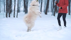 Happy young woman playing with white Samoyed dog on Stock Footage