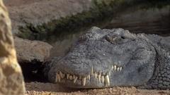 Large resting crocodile Stock Footage