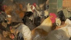 Beautiful cocks and hens feed in the chicken coop close up by Pakito. Stock Footage