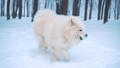 White Samoyed dog playing Stock Footage
