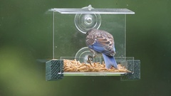 Juvenile Eastern Bluebird (Sialia sialis) Stock Footage