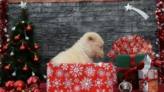 Beautiful white puppy surrounded by New Year's decoration Stock Footage