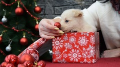 White puppy in holiday spirit surrounded by New Year's decoration Stock Footage
