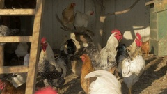 Rooster and hens in the chicken coop by Pakito. Stock Footage
